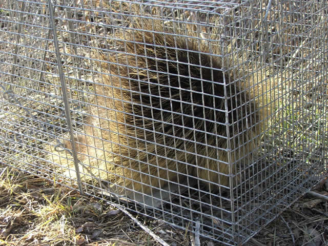 trapping porcupines